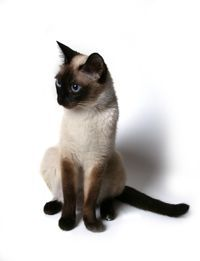siamese_cat.jpg